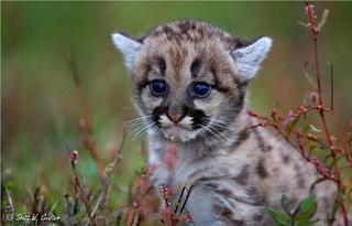Click image for larger version  Name:cougar squee.jpg Views:93 Size:37.1 KB ID:13056