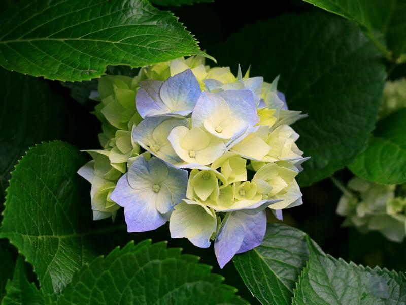 Click image for larger version  Name:Hydrangeas.jpg Views:68 Size:57.5 KB ID:14945