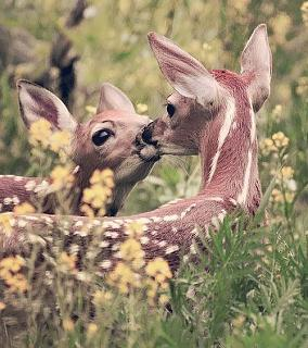 Click image for larger version  Name:Deer kiss.jpg Views:209 Size:64.4 KB ID:17449