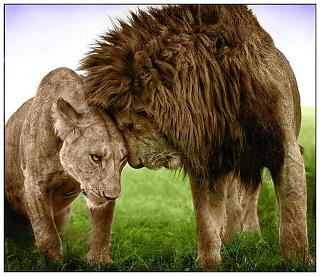 Click image for larger version  Name:Lions.jpg Views:212 Size:78.4 KB ID:17454