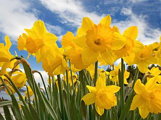 Click image for larger version  Name:Daffodil-flowers-30709818-1600-1200.jpg Views:222 Size:73.0 KB ID:20852