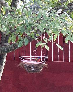 Click image for larger version  Name:Painted Bunting Dec 8 2014.jpg Views:131 Size:61.8 KB ID:22325