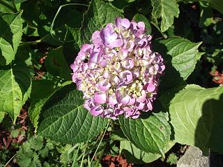 Click image for larger version  Name:Hydrangea 001.jpg Views:153 Size:97.0 KB ID:23143