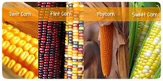 Click image for larger version  Name:corn+types.png Views:150 Size:360.2 KB ID:26428