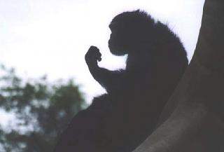 Click image for larger version  Name:chimp2.jpg Views:163 Size:53.8 KB ID:271