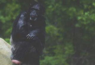 Click image for larger version  Name:Chimp3.jpg Views:130 Size:45.8 KB ID:272