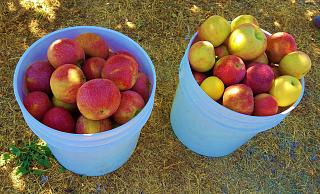 Click image for larger version  Name:30 lbs. of apples.jpg Views:139 Size:95.0 KB ID:32032
