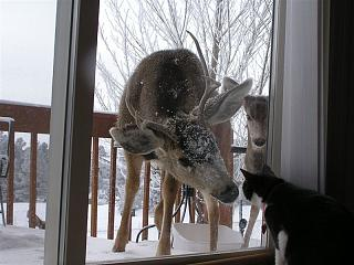 Click image for larger version  Name:kitty cat and deer.jpg Views:126 Size:86.8 KB ID:3385