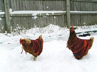 Click image for larger version  Name:chicken capes.jpg Views:49 Size:51.0 KB ID:38331