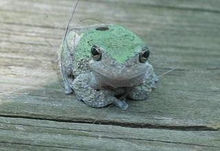 Click image for larger version  Name:frog reduced.jpg Views:131 Size:33.7 KB ID:4179