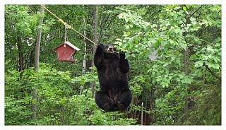 Click image for larger version  Name:bear harris.jpg Views:161 Size:107.5 KB ID:500