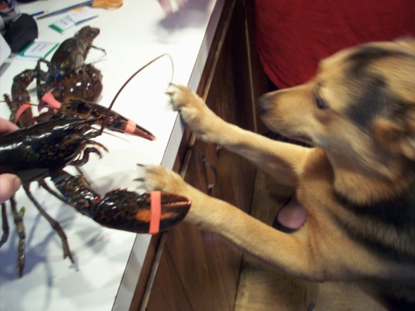 Click image for larger version  Name:lobster.jpg Views:97 Size:57.4 KB ID:5103