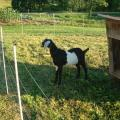 new kid on the block.  this is our new future herd sire/daddy goat.  picked him up yesterday, July 13, 2008