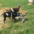 This is our new buck goat in the foreground with Buddy, whose sisters are Holly and Peggy Sue